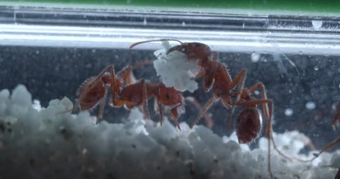 Closeup macro of harvester ants hard at work in their ant farm.