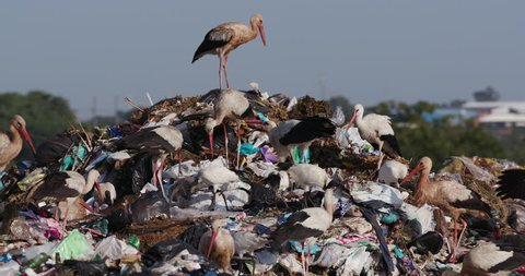 4K close-up view of a small group of European White Storks, Cattle Egrets and African Sacred Ibis scavenge for food on a landfill dump site