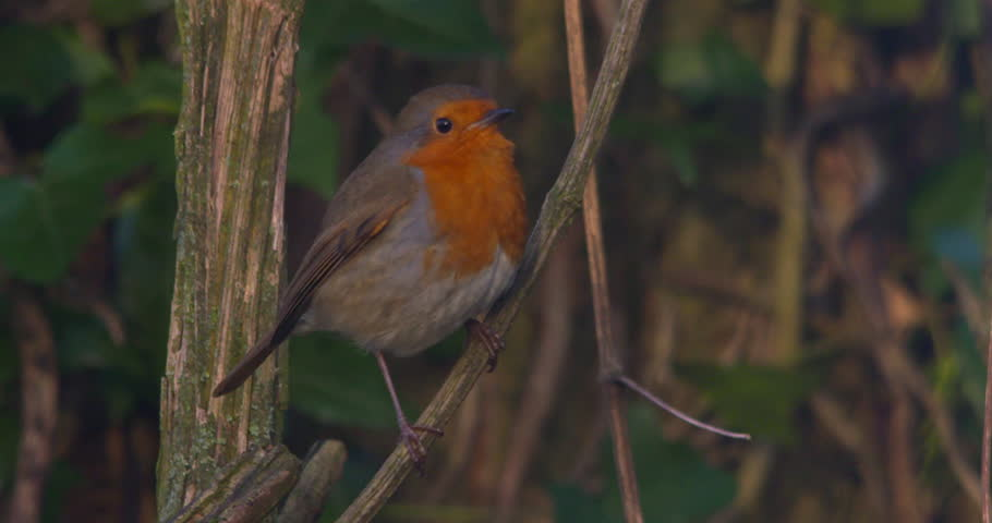 Robin bird close up perched on tree branch slow motion light wind  | Shutterstock HD Video #1025581325