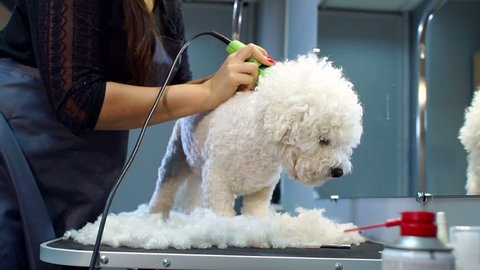 Veterinarian trimming a dog Bichon Frise with a hair clipper in a veterinary clinic. Female groomer haircut a dog Bichon Frise on the table for grooming in the beauty salon for dogs. Slow motion.