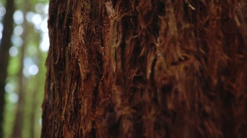 Closeup of Bark on a New Zealand Redwood Tree Panning to out of focus trees. This was filmed just outside of Rotarua.