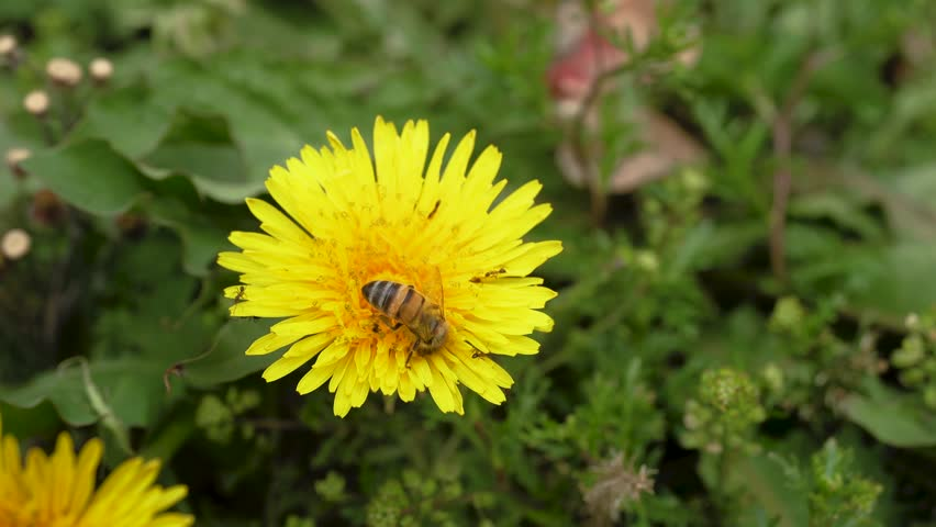 Bee in yellow flower wild natural life pollination flora collect | Shutterstock HD Video #1025930255