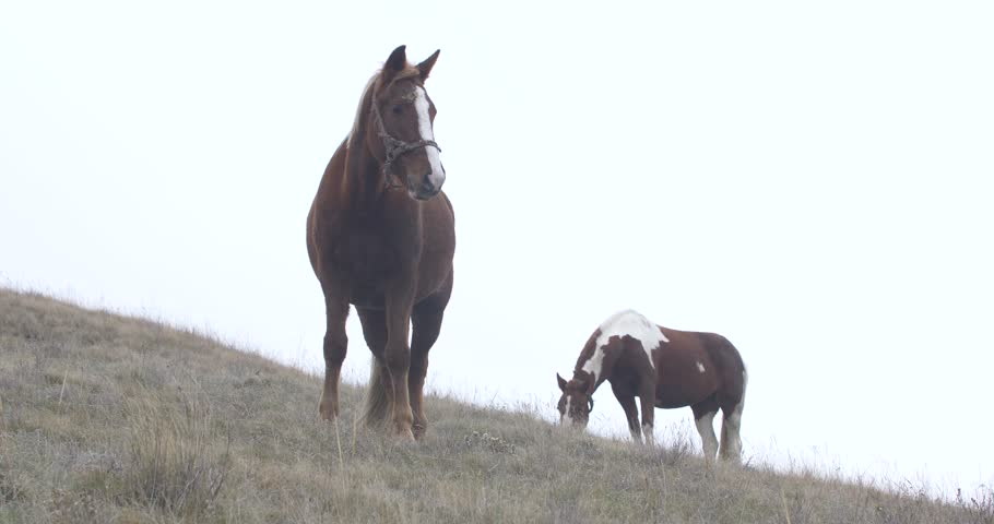 two brown horses with white spots and a cropped mane against the horizon #1025930645