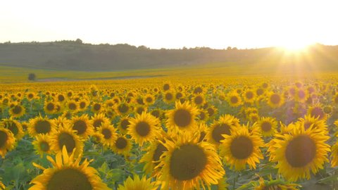 large field of ripe sunflowers at sunset
