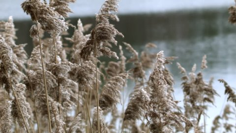 Close up shot of common reeds blowing in the wind at a waters edge.