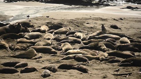 Restless Elephant Seals On Beach Along Pacific Ocean