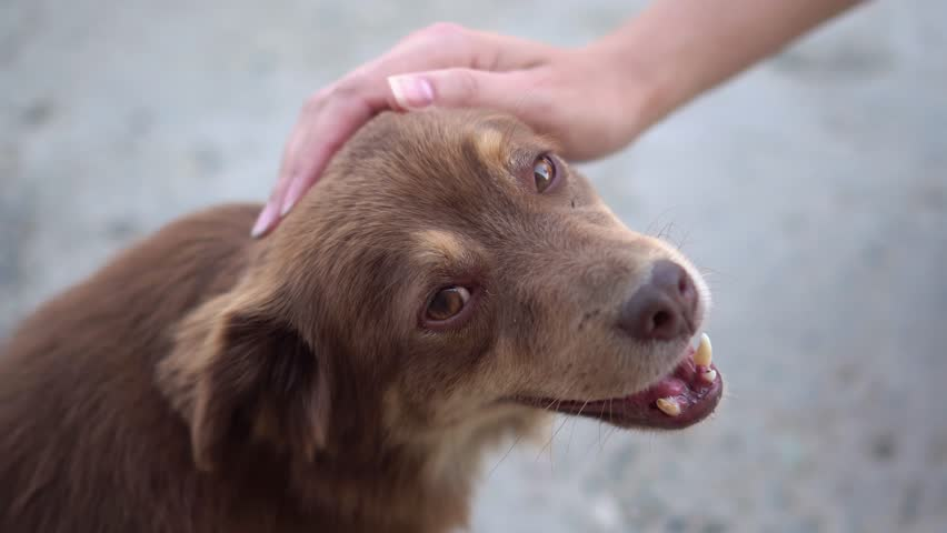 A small cute stray dog gets affection from a stranger, homeless pet with kind grateful eyes looks into the camera, makes the video cry and sympathize, social video about helping animals | Shutterstock HD Video #1026226685