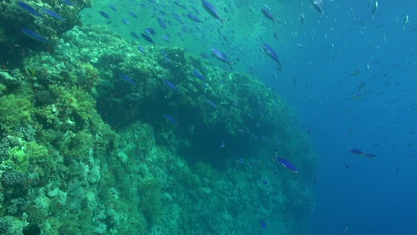 Large school of Blue Fusilier pass by on the reef #1026305135
