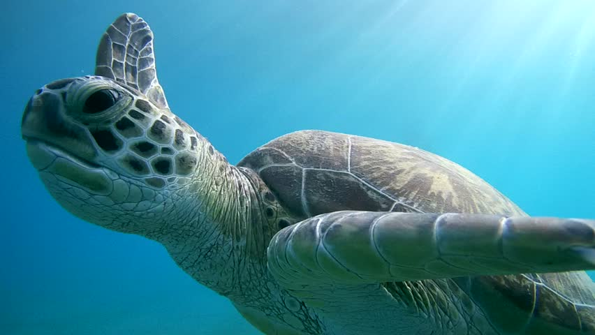 Green sea turtle(Chelonia mydas) It floats on the water surface to breathe, Red sea, Marsa Alam, Abu Dabab, Egypt    Shutterstock HD Video #10263512