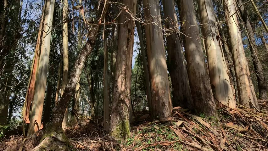 Eucalyptus trees eucalyptus trees to the sky view from below rotation camera | Shutterstock HD Video #1026374585