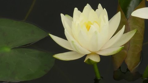 Time lapse  footage. Opening beautiful water lily flowers in the lake. Lotus, nymphaea reflection in the pond