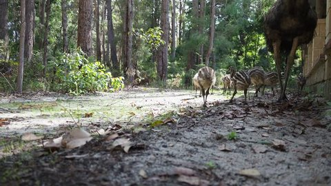 Emu with chicks foraging next to country house in dense forest. Low point of view