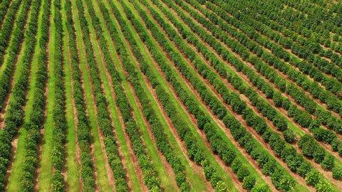 Aerial of Kona coffee plantation in Big Island Hawaii