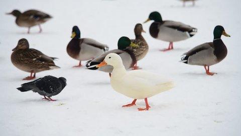 Rare white mutant duck in swarm of wild ducks winter nature wild life
