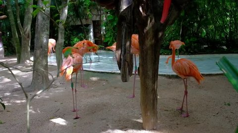 Pink Flamingos In  Xcaret park - Mexico