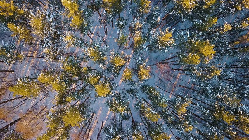Flying above mostly pine forest. Evening time. Winter clear weather, From Drone, HEAD OVER SHOT