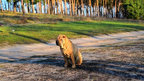 dog breed sharpei shakes his head. quality video.
