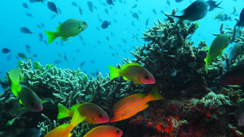 Massive school of bigeye trevally ( Caranx sexfasciatus) underwater | Shutterstock HD Video #1027176455