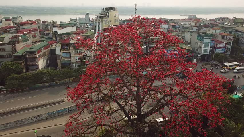Aerial Unique view of city through bombax ceiba tree Red silk cotton flower. Freeway highway fast road traffic mopeds. Cinematic unusual Asia Japan Vietnam. slums city river background.