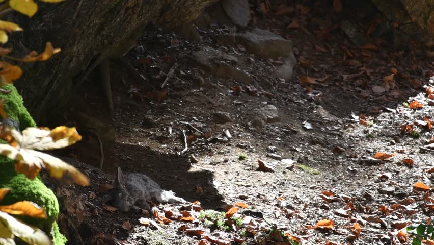 Eurasian lynx (Lynx lynx) kitten playing with dead rabbit prey in autumn forest
