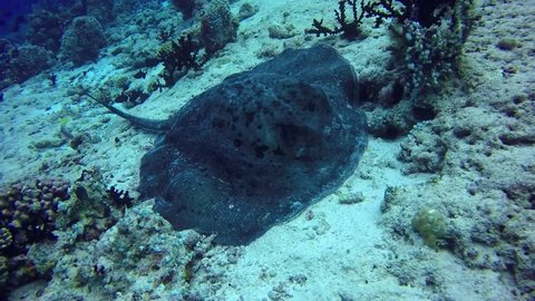 Sting Ray looking for food in the sand and swimming close above the reef