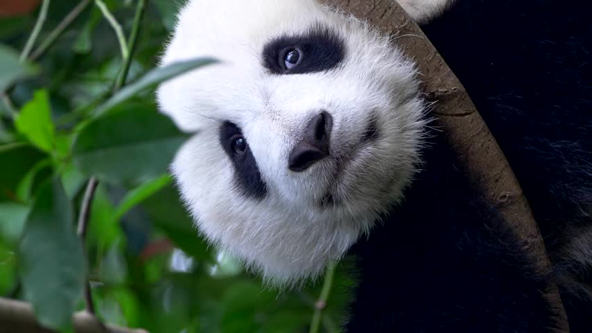 Vertical video. Baby panda resting on the tree. A funny panda bear falling asleep sitting on a tree in the green | Shutterstock HD Video #1027502225