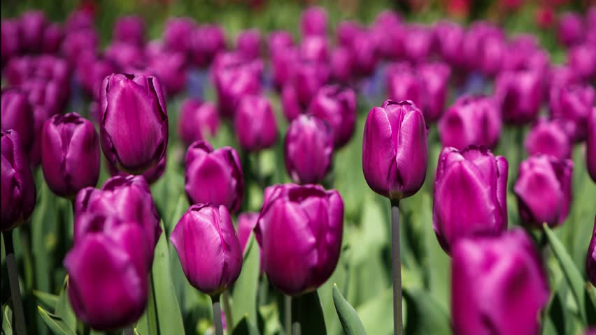 Footage of beautiful colorful purple tulips flowers bloom in spring garden.Decorative violet tulip flower blossom in springtime.Beauty of nature.Vibrant natural colors