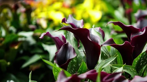 Footage of beautiful dark callas lillies flowers bloom in spring garden. Decorative calla flower blossom in springtime.Beauty of nature