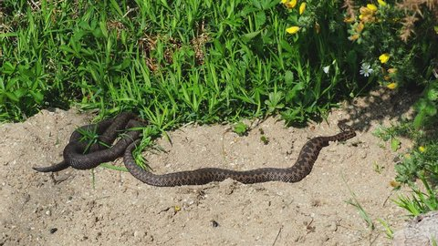 Two male Adders ( Vipera berus ) coiled up.