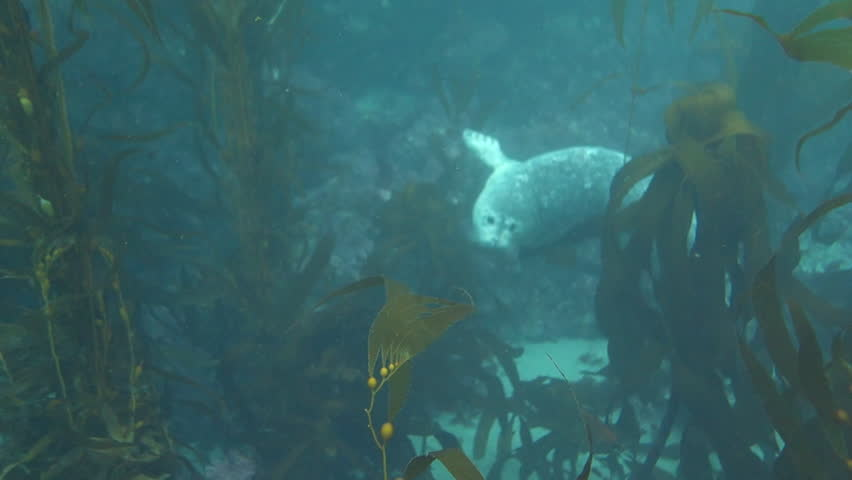 Close up: Seal Curiously Swimming with Scuba diver in Point Lobos, California   Shutterstock HD Video #1027876535