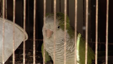 Green Parrot in Cage. Close-Up.