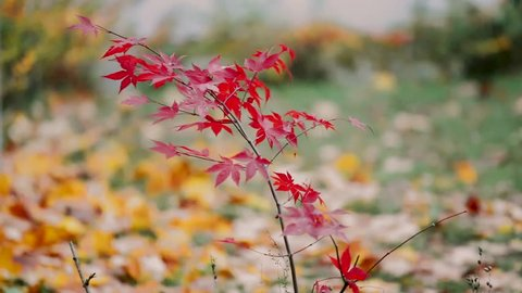 red japanese maple in windy autumn day
