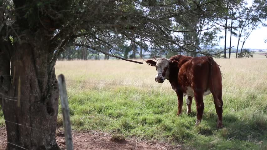 Nature. Cow And Ox In The Pasture.