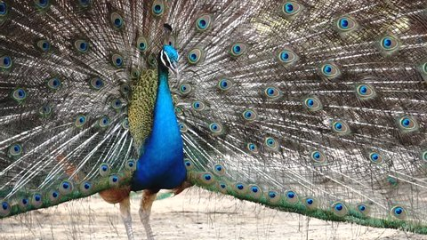 The peacocks are mating together. Saw the natural mating behavior of the male and female peacocks