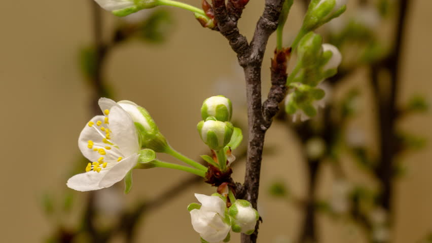 Plum Flower Blossom Time Lapse. 4k macro timelapse video of a plum flower growing blooming and blossoming against a yellow background with the camera moving upwards.