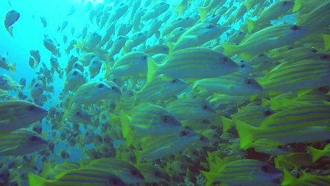 Shoal of Blue Striped Snappers swimming in blue water above the reef