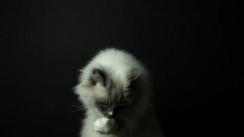 Beautiful active semi-long hair soft silky coat ragdoll breed cat with blue eyes on dark black background. 4k uhd