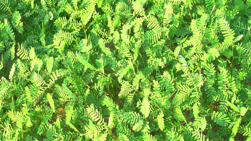 Mimosa green leaves of grass moving along the wind and having evening light | Shutterstock HD Video #1028209415