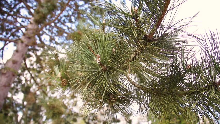closeup on pine tree needles