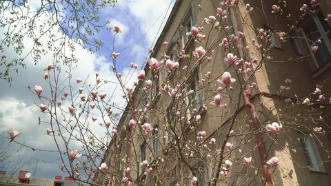 Pink magnolia flowers, flowers of white magnolia, white Magnolia flowers on tree branch. Uzhgorod. Branches Magnolia
