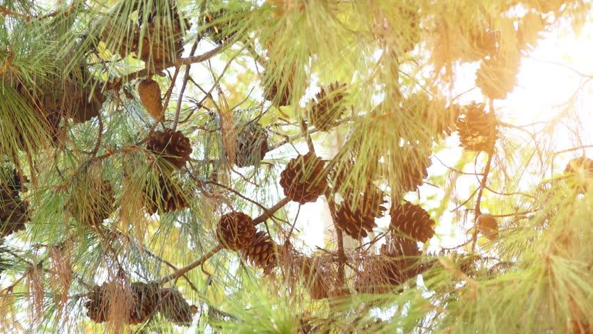 Pinus brutia, the Turkish pine, is a pine native to the eastern Mediterranean region. The bulk of its range is in Turkey.