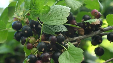 large sweet currant berry. Harvest blackcurrants. tasty berry on the branch. garden business. close-up. black ripe juicy currants in the garden.