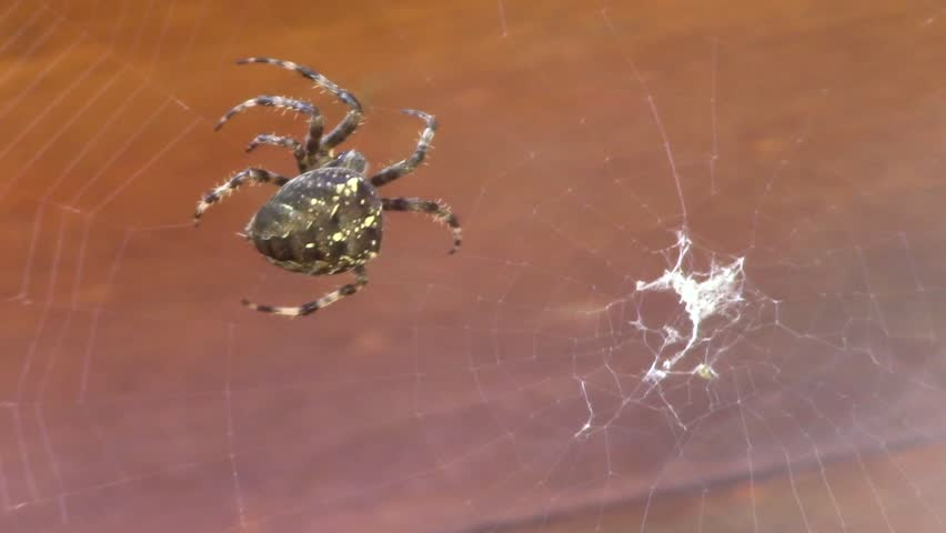Spider. Garden Cross Spider. (cross Stock Footage Video (100% Royalty,free)  1028312855