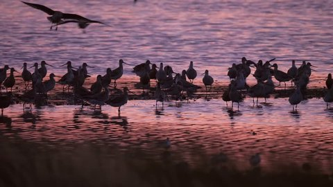 Flock of godwit shorebirds fly to land during a colorful pink and blue sunset near Miranda in New Zealand