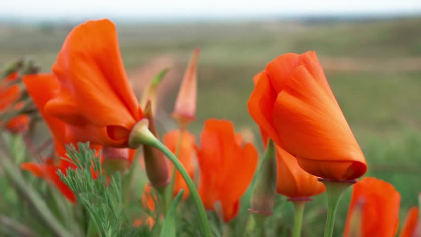 Orange poppies curled up and swaying in wind, green soft focus field background
