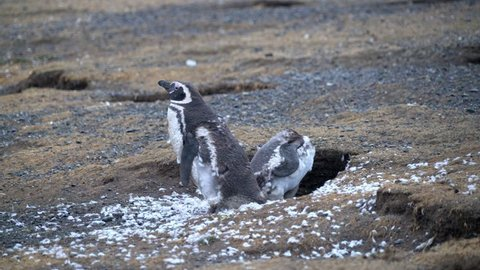 Two Young Magellanic Penguin still shedding their feathers, standing by their nest on the Magdalena Island in the South of Chile