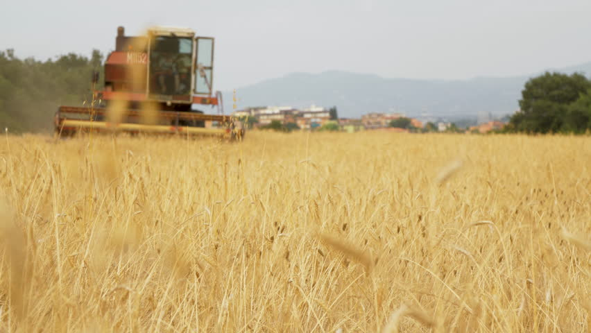 Thresher farming approaching in golden wheat field. Threshing machine in the background working in Italy. 07