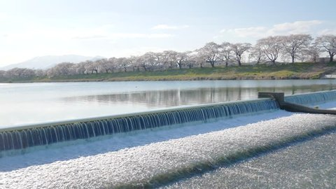 landscape view of the water weir on Shiroishi Riverside with Sakura tree in pink-colored flower petals covered all along the river bank in spring sunshine day - Sakura hanami in Sendai