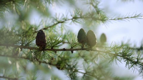 Branches with seed cones and needles on larch tree growing in forest. Cones of larch. European larch with cones on blurred background. Fruit of coniferous tree