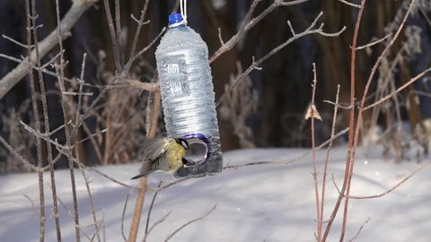 Birds Great Tit (Parus major) are on the feeder, which is spinning like a merry-go-round, on a frosty sunny day, in a city park, slow motion